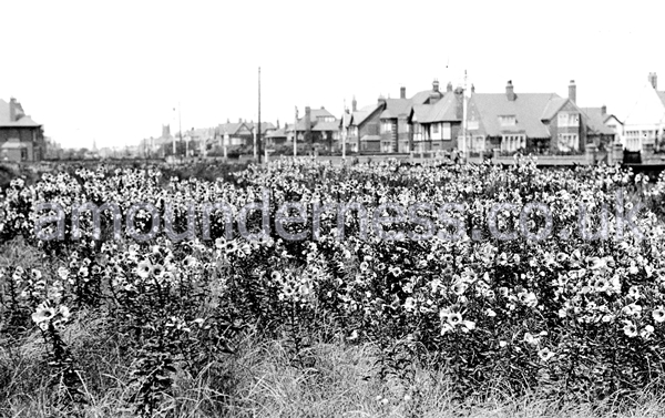 Evening Primroses growing along Clifton Drive, Fairhaven, in the 1920s.