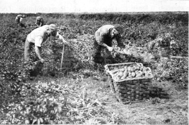 Photograph of potato harvesting at St.Annes in 1927.