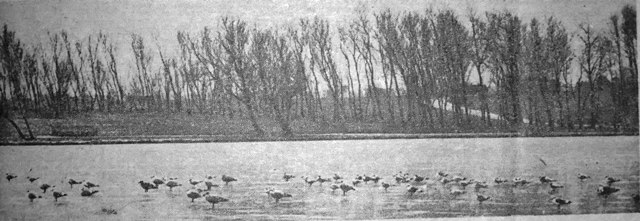 Ducks & seagulls on thin ice at Stanley Park, Blackpool, mid-January, 1947.